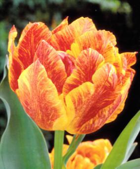 Tulip DBL 'Monte Flame'