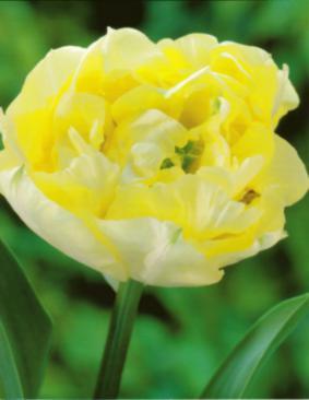 Tulip DE 'Montreux'