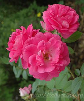 Роза 'Morden Centennial'