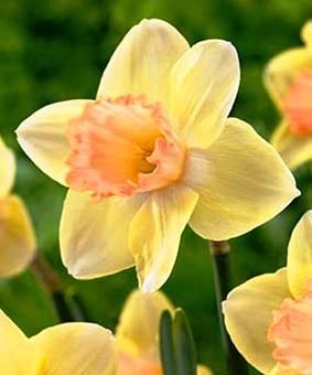 Narcissus SIN 'Modulation'