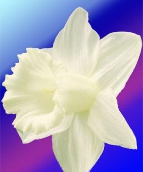 Narcissus SIN 'Mount Hood'