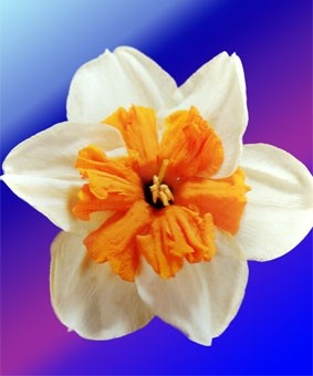 Narcissus 'Parisienne'