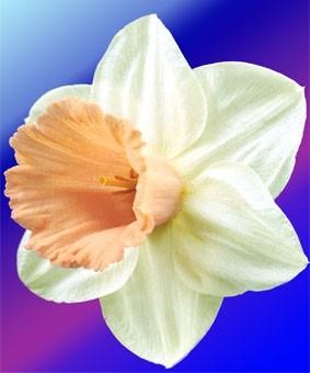 Narcissus 'Salome'