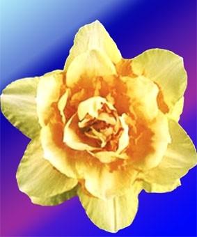 Narcissus 'Texas'