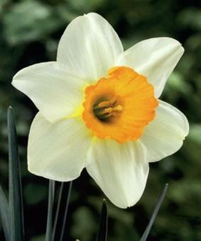 Narcissus 'Big Gun'