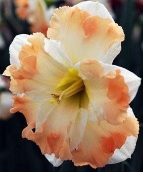 Narcissus SPLIT 'Cum Laude'
