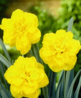Narcissus 'Double Gold Medal'