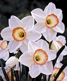 Narcissus 'High Society'