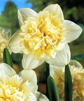Narcissus DBL 'Ice King'