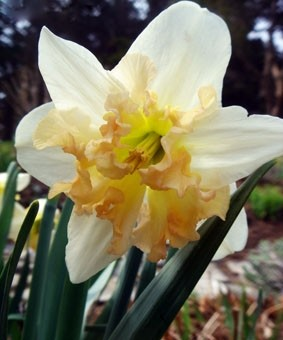 Narcissus 'Palmares'