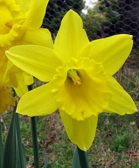 Narcissus 'Gigantic Star'
