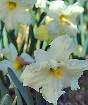 Narcissus DBL 'Colblanc'