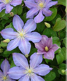Clematis 'Paola'
