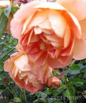Роза 'Pat Austin'