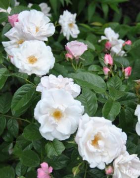 Роза 'Pearle Meidiland'