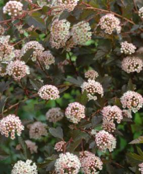 Physocarpus opulifolius SEWARD 'Summer Wine'