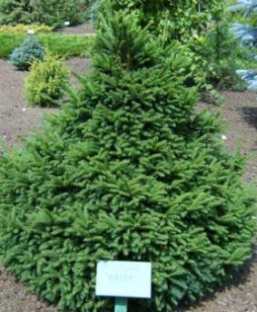 Picea abies 'Barryi'