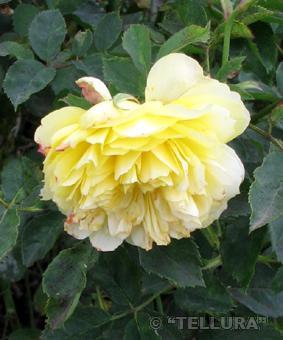 Роза 'The Pilgrim'