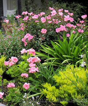Роза 'Pink Meidiland'