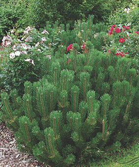 Pinus mugo 'Uncinata'