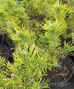 Pinus mugo 'Ophir'