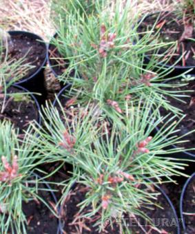 Pinus sylvestris 'Waterery'