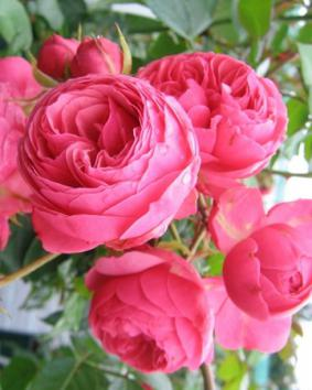 Роза 'Pomponella'