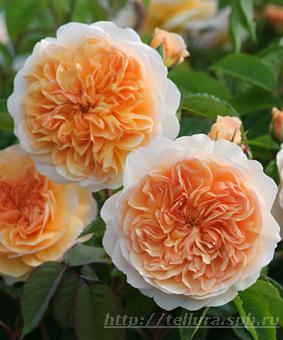 Роза 'Port Sunlight'