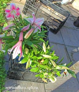 Цветущие лилии для посадки