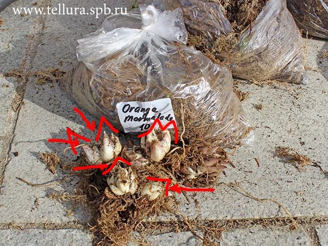 Так выглядят молодые луковицы лилий