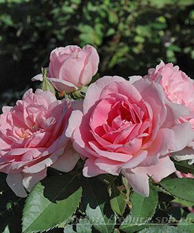 Роза 'Prairie Joy'