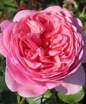Роза 'Princess Alexandra of Kent'