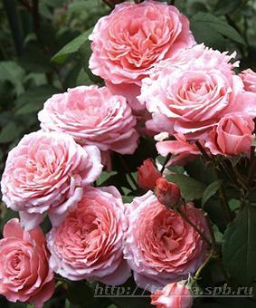 Роза 'Prix P.J. Redoute'