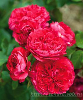 Роза 'Red Leonardo da Vinci'