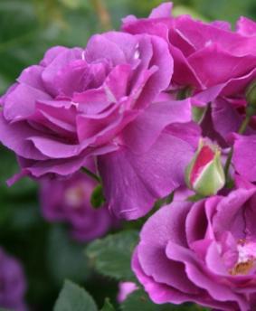 Роза 'Rhapsody in Blue'