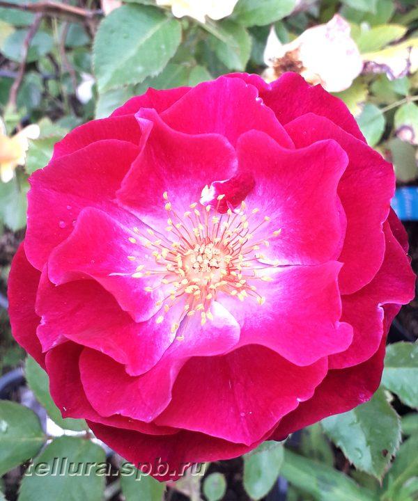 Кустовая роза Блю Иден фото цветка