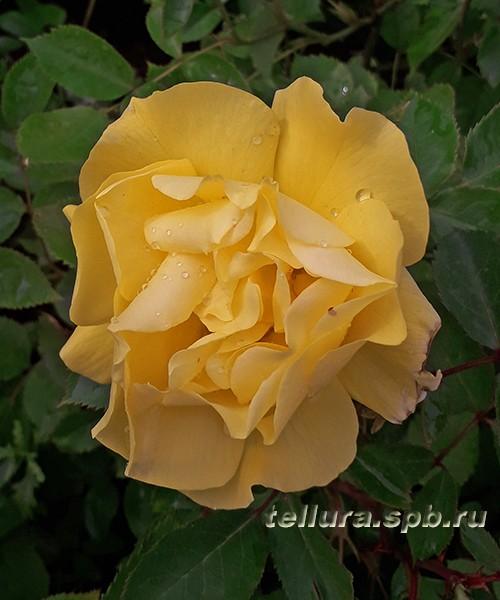 Роза Фрезия фото цветка