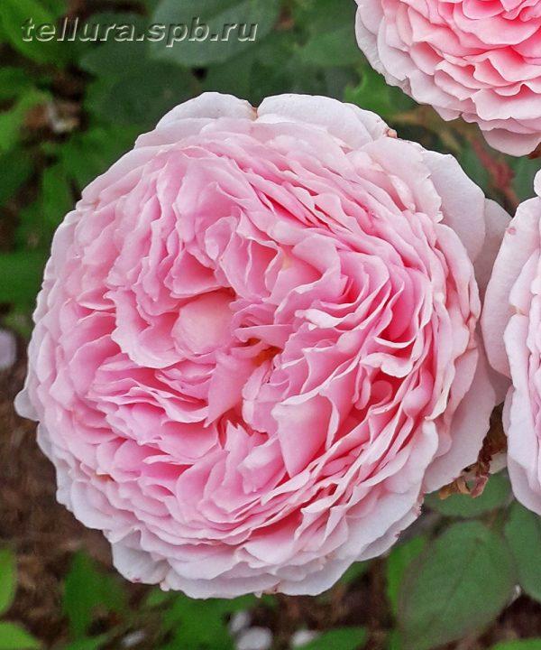Английская роза сорт Джеймс Гоулвей фото
