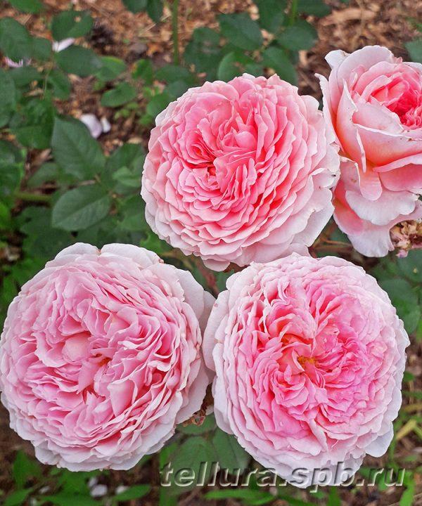 Роза Джеймс Гэлвей фото цветочной кисти