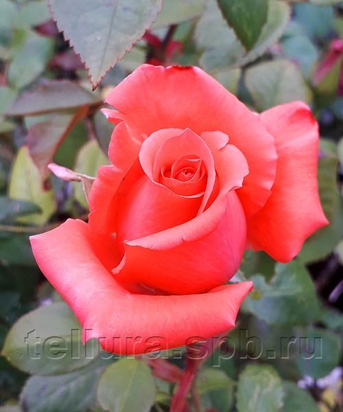 Роза Кинг Артур бутон в полуроспуске фото
