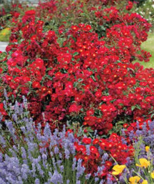 Rosa Mainaufeuer роскошный цветущий куст фото