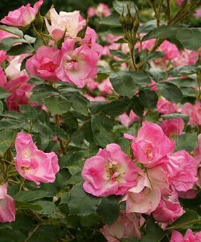 Роза 'Abezieds'