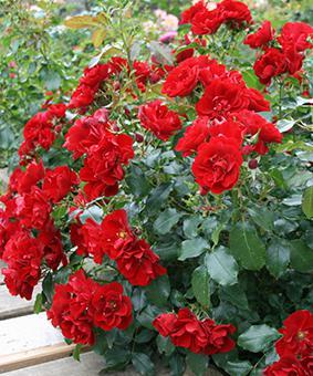 Роза 'Alpengluhen'