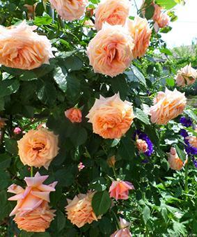 Роза 'Barock'