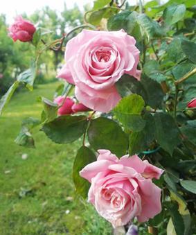 Роза 'Blossom Time'