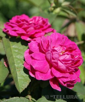 Роза 'D'Aguesseau'