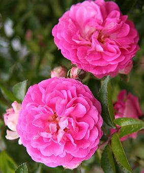 Роза 'Dorothy Perkins'