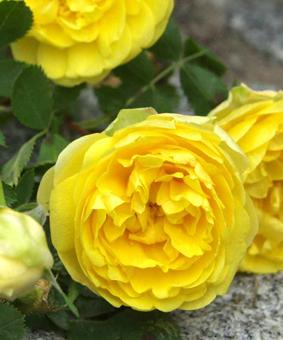 Роза R. foetida 'Persian Yellow'