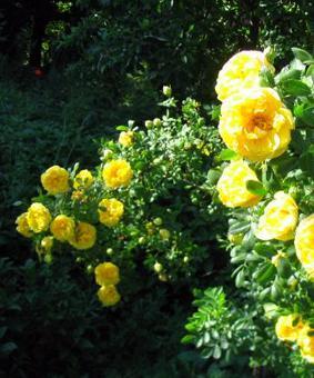 Роза R. foetida 'Persian Yellow'