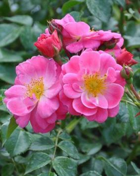 Роза 'Magic Meidiland'